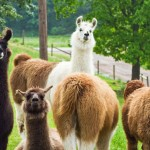 Ashburn Alpaca Farm 2014 Pennsylvania
